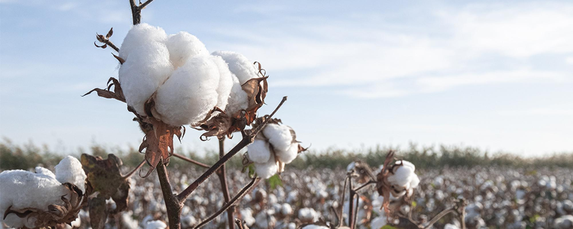 Photo of cotton field